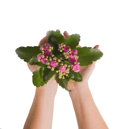 Two women hands holds a flower isolated on white. Stock Photo