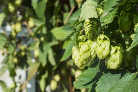 hopfield: Detail of green hop cones in the hop field. Hop cones before harvest. Hop close-up. Stock Photo