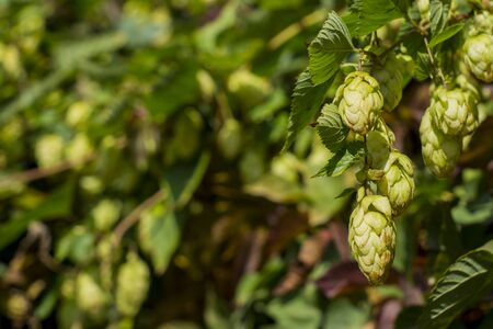 Detail of green hop cones in the hop field. Hop cones before harvest. Hop close-up. Stock Photo