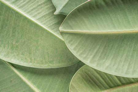 Green tropical background with palm ficus elastica leaves