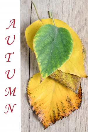 Vivid autumn maple leaves on wooden background  photo