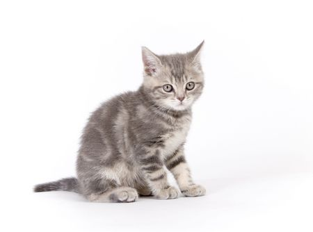Gray marmoreal scottish breed kitten on white ground sitting photo