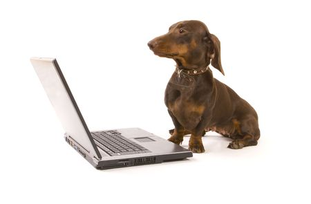 Brown dachshund working on laptop on white ground Stock Photo - 3610074
