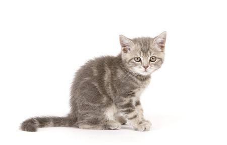 Gray marmoreal scottish breed kitten on white ground photo