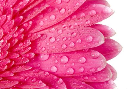 Purple Gerbera with drops of water photo