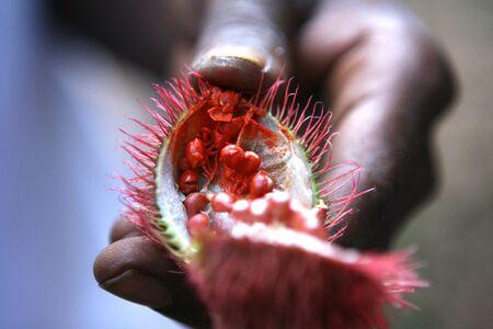 Achiote plant - The seed from this plant was used for lipstick photo