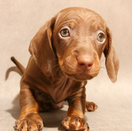cute brown dachshund  puppy on grey ground