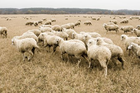 White sheep in autumn field Stock Photo - 3816778