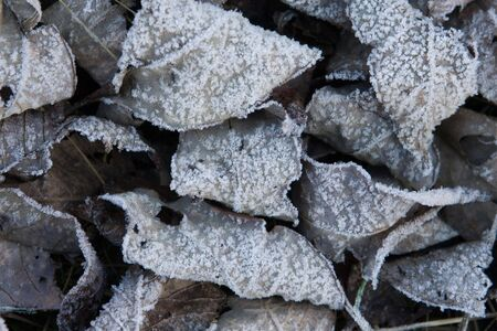 icily: Old leaves covered with hoarfrost Stock Photo