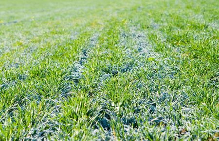 icily: Green field covered with hoarfrost