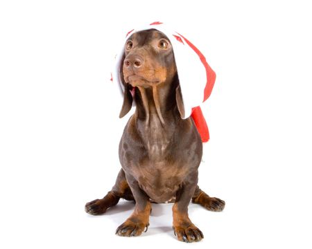 Brown dachshund in red christmas hat on white ground Stock Photo
