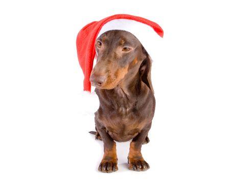 Winking brown christmas dachshund on white ground Stock Photo - 3872209