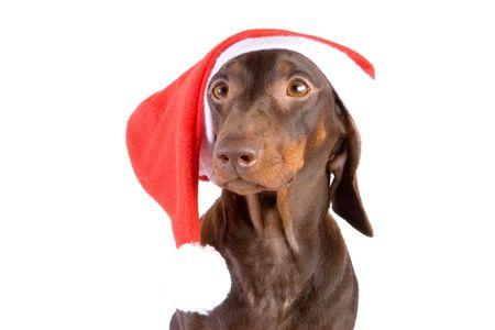 Brown dachshund in Santa's hat on white ground Stock Photo