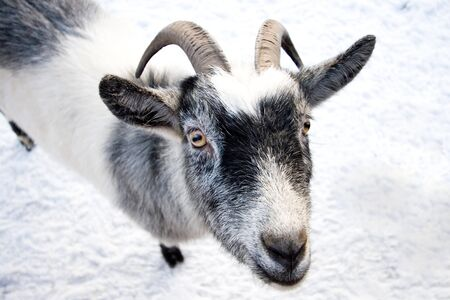 Cute goat on white snow  photo