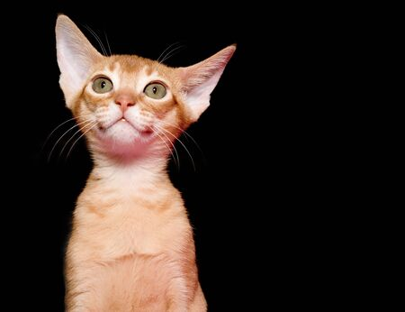 red cat: Red abyssinian kitten on black ground Stock Photo