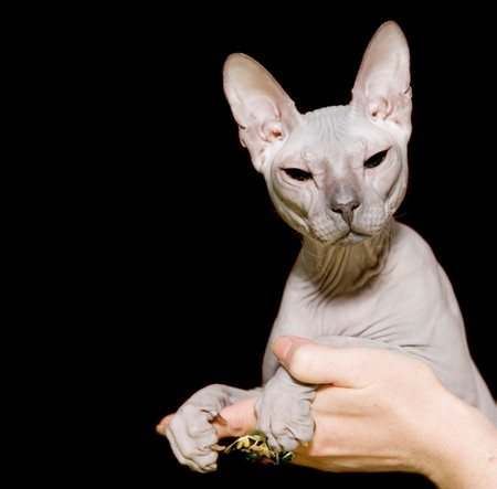 Gray sphinx hairless cat in hands
