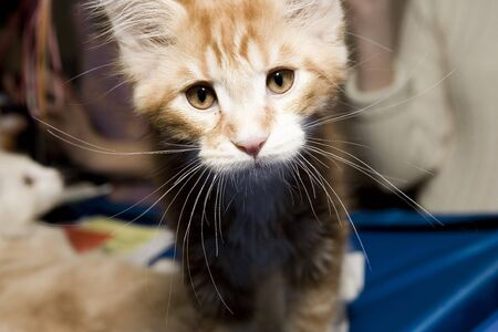maine coon: Stripy maine coon chaton. gros plan Banque d'images