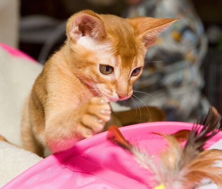 Red abyssinian kitten playing with  feather