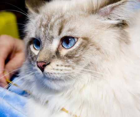 Blue eyes persian kitten on blue pillow photo