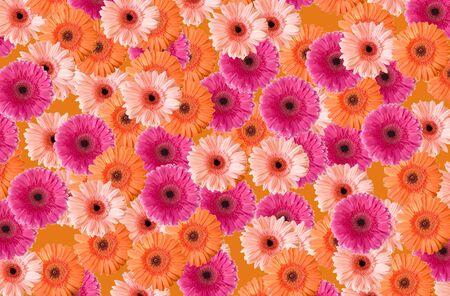 Background of colored gerberas          版權商用圖片