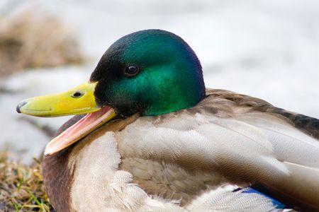 Duck with open beak photo
