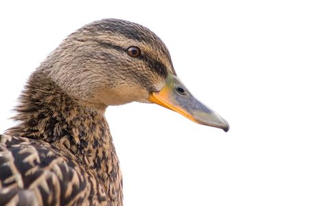 Duck sitting on a pond bank Stock Photo - 4693751