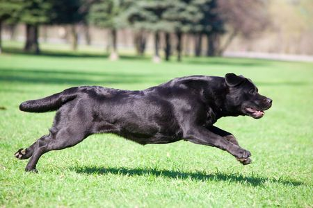 Black labrador running in the park photo