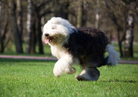 bobtail: Hairy bobtail running in park