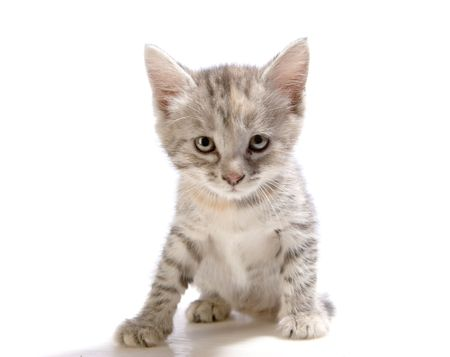 Gray kitten just sitting on white ground Stock Photo - 4882942