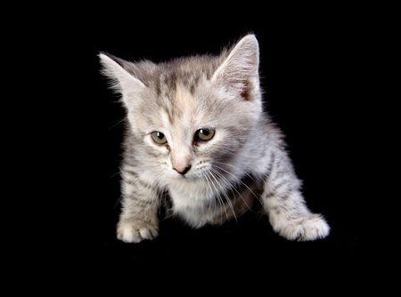 Cute gray kitten on black ground Stock Photo - 4882937