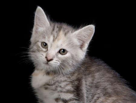 Portrait of cute gray kitten Stock Photo - 4914728