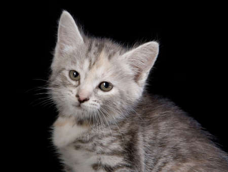 Portrait of cute gray kitten Stock Photo - 4914728