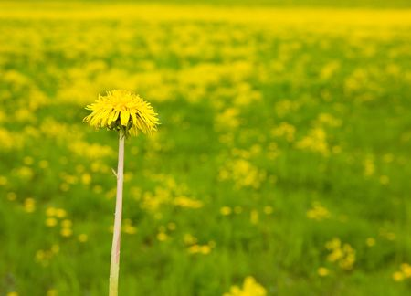 One dandelion on the summer field Stock Photo - 4914736