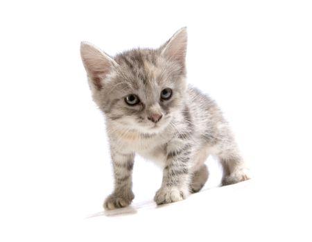 Cute gray kitten on white ground Stock Photo - 4925843