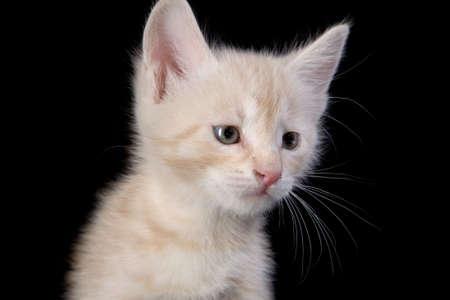 Peach colored kitten portrait Stock Photo - 4925845