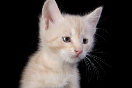 Peach colored kitten portrait Stock Photo - 4925845