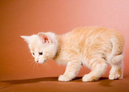 Small red kitten trying to hunt Stock Photo - 4953387