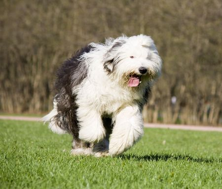 Hairy bobtail (old English sheepdog) running in park