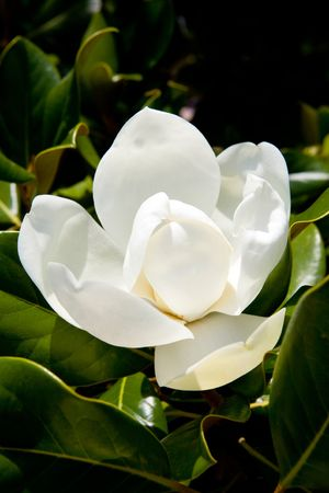White blossoming magnolia in green leaves photo