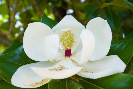 White blossoming magnolia on the tree