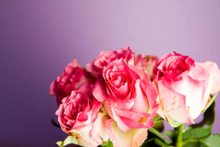 Bunch of pink roses on purple ground Stock Photo - 5692448