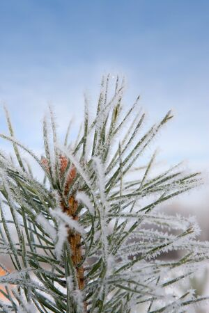 Pine tree in winter with frost Stock Photo - 6199727