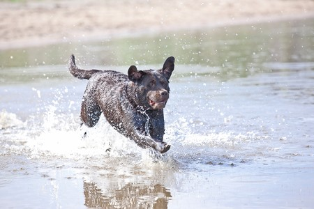 Brown labrador running and jumping in the water photo