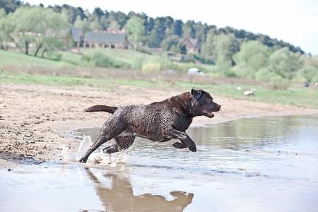 perro labrador: Marr�n labrador correr y saltar en el agua  Foto de archivo