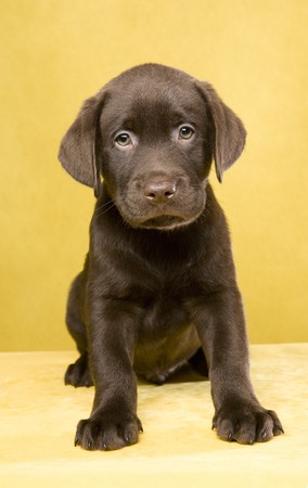 Brown labrador puppy on yellow ground Stock Photo