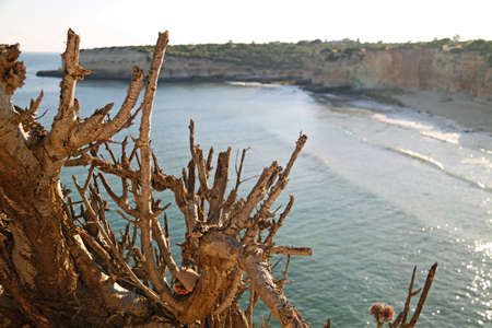 Dry tree trunks overlooking sea cliffs in Algarve, Portugal Stock Photo