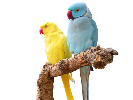 Rose-ringed Parakeet - Pair of a yellow and blue variations, isolated photo