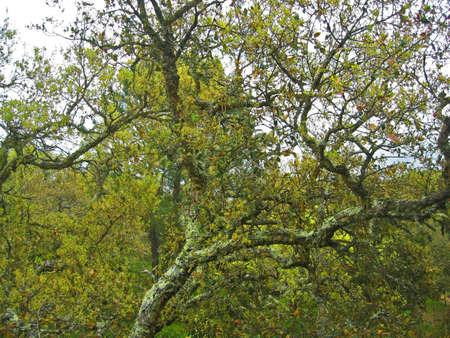 Mossy tree in yelowish woodland