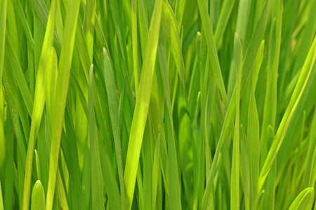 Close-up of Cat Grass leaves Stock Photo