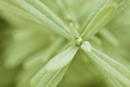 Macro of the green leaves of a Lavender Stock Photo